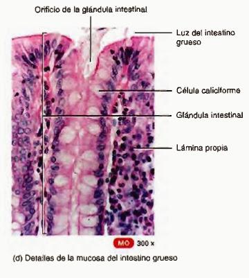 Intestino grueso o craso: partes y funciones - Sistema digestivo