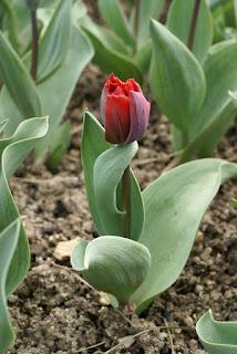 Tulipes frangées - Tulipa Arma - Tulipe Arma - Tulipe frangée