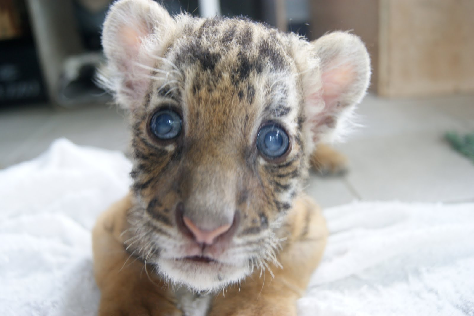 The Cutest Baby Tiger In The World