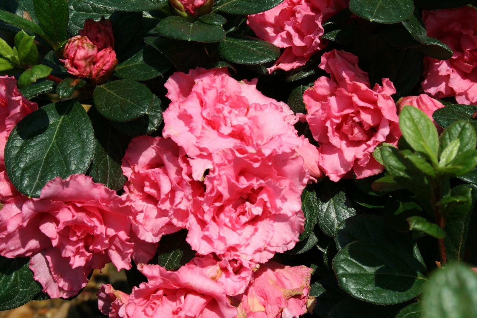 Crabapple LandscapExperts: Spring Flowering Shrubs, Part 2