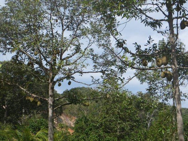 Дурианы весят на дереве
