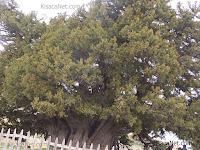 Türkiyenin En Eski Ardıç Ağacı Fotoğrafı