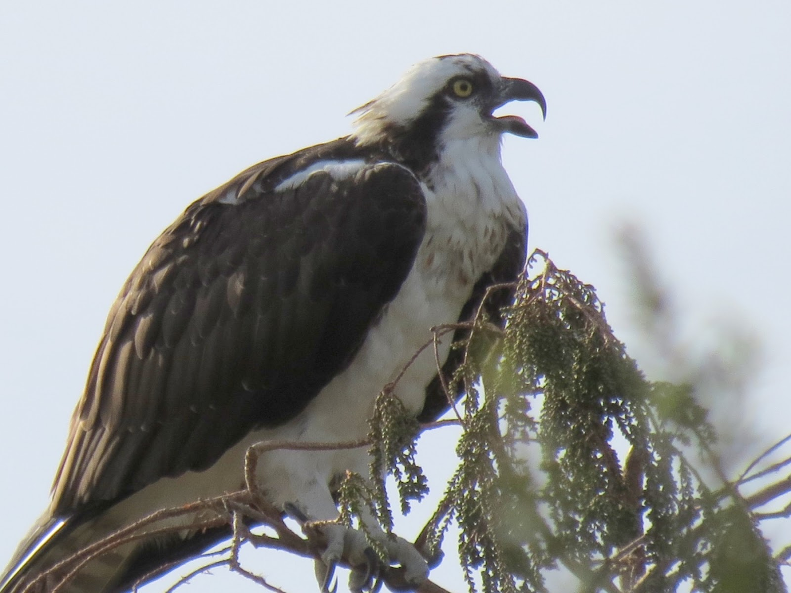 A Talking Osprey On The Photo Below You Can See Their Dark Eye Stripe