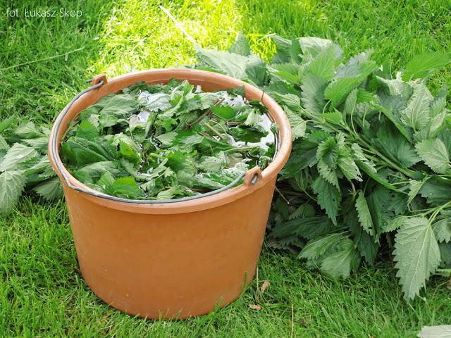 wiosenna gnojówka z pokrzyw