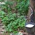 สมคิด โพธิ์เพชร ต้นแบบสวนยางเอทธิลีน เพิ่มน้ำยาง 3 เท่า พิสูจน์มาแล้วกว่า 14 ปี (Advertorail)