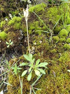 Primevère laurentienne - Primula laurentiana