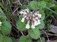 Angelitos (Teucrium pyrenaicum)
