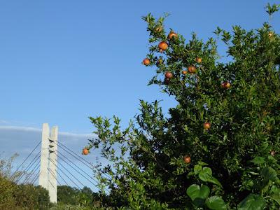 山田池公園 実りの里「果樹園」 ザクロの実