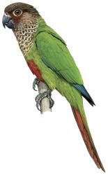 Pyrrhura parvifrons