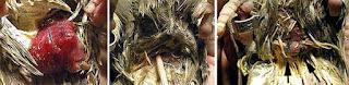 Burung Cendet - Penyakit Dubur yang Keluar Dari Burung - Penagkaran Burung Cendet