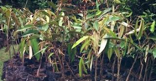 bibit-durian-kumbokarno-murah.jpg