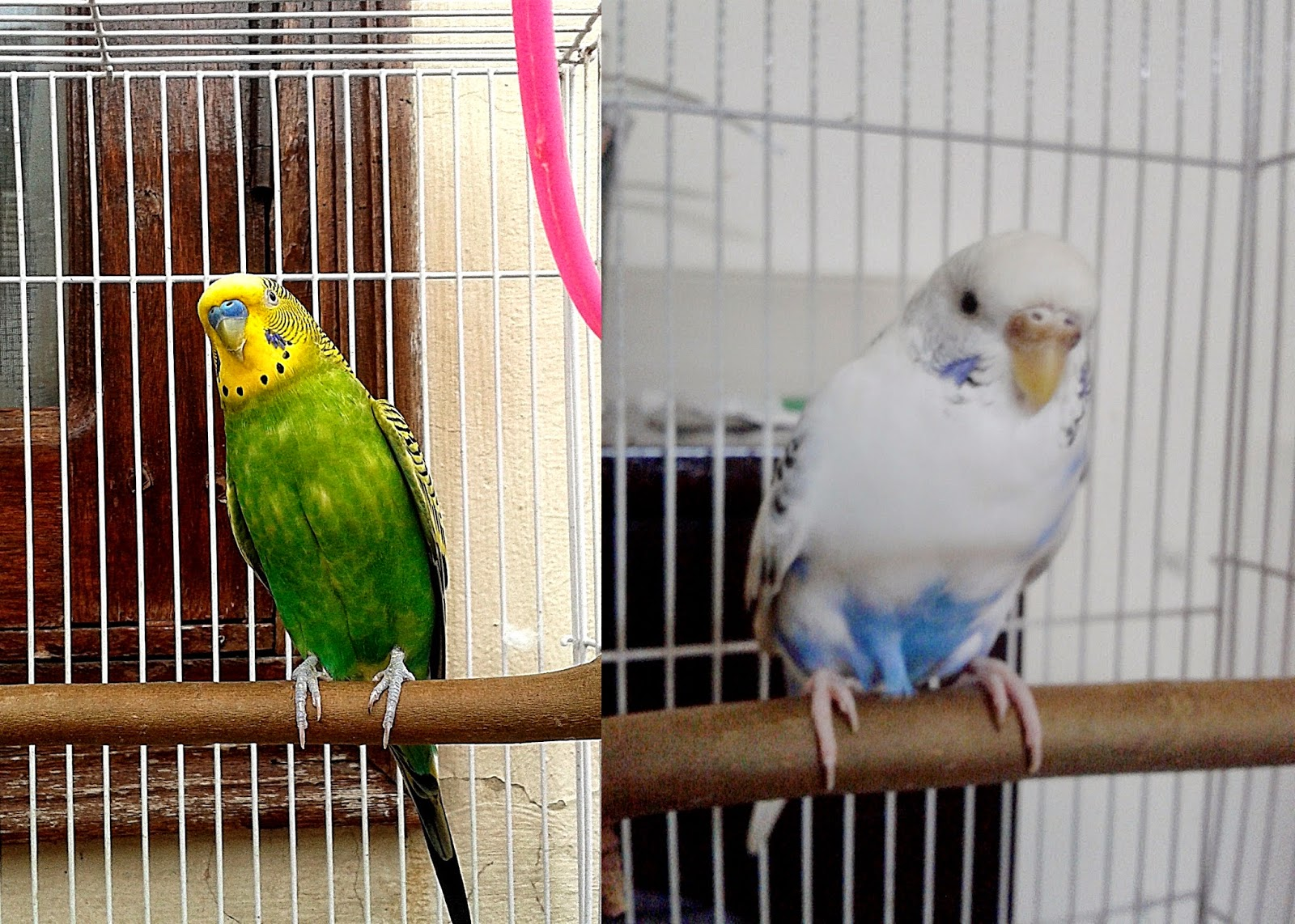 BIRDLOVEINDIA: CHOOSING A HEALTHY BIRD/BUDGIE