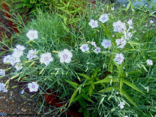 гвоздика-травянка на даче