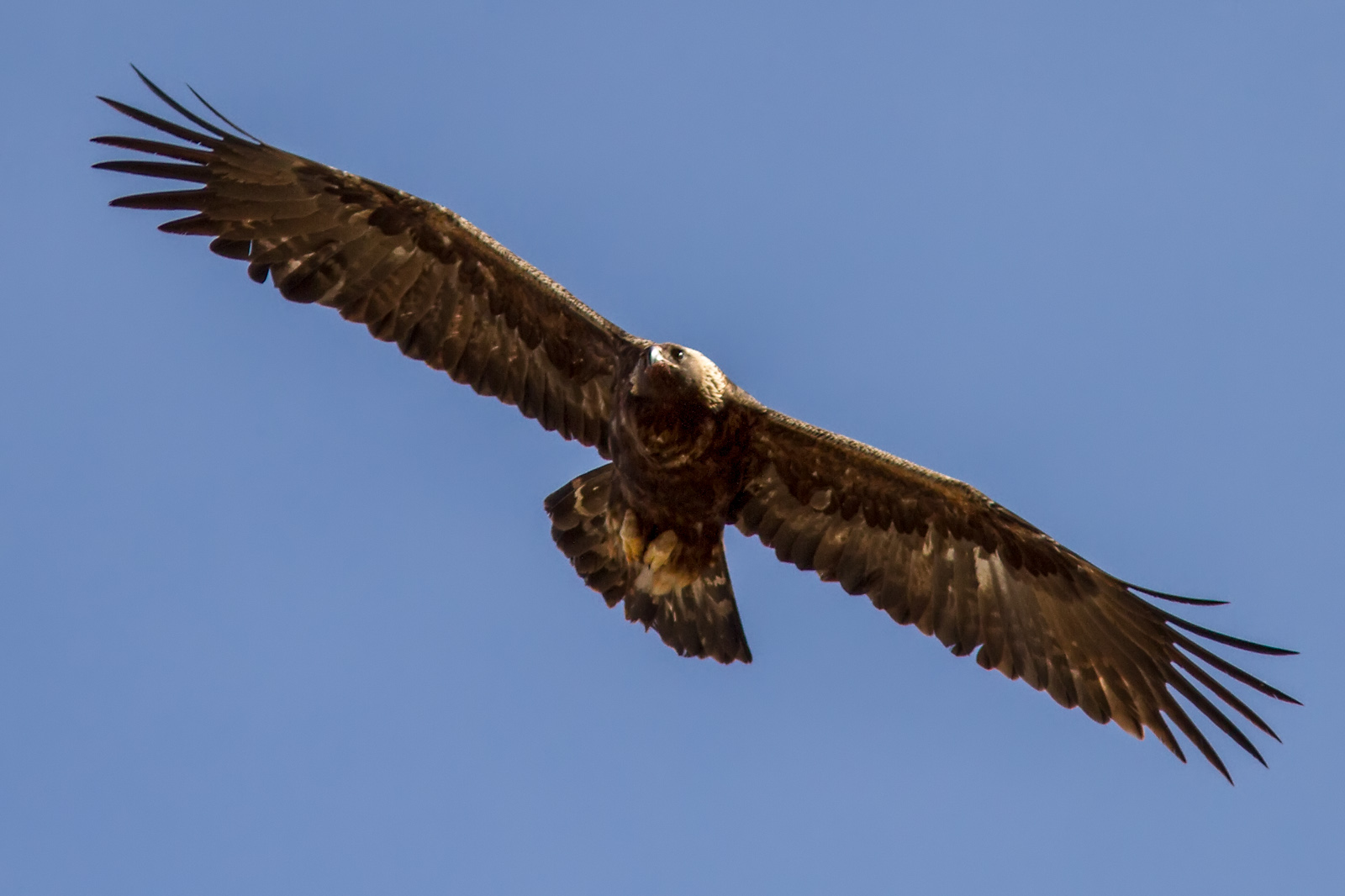 Soaring Golden Eagle Fur & Feathers ...