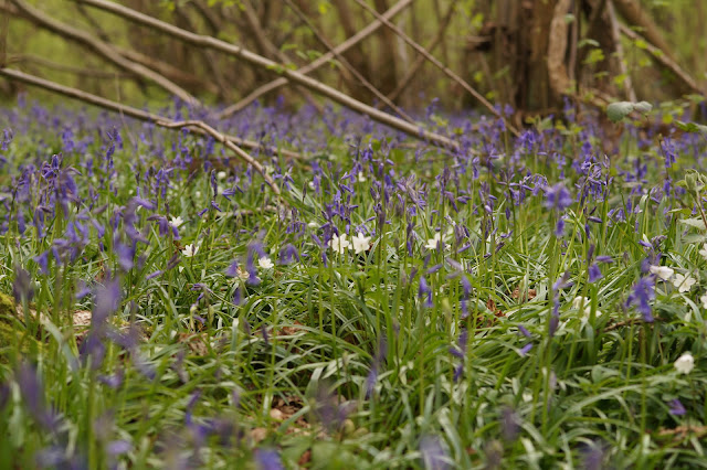 bluebells in the woods in Norfolk