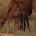 صحراء تطاوين | في حالة نادرة ناقة تلد حوارين (توأماً) وبصحة ممتازة