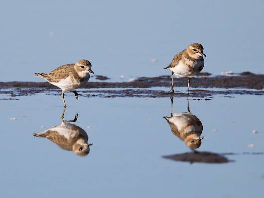 Double-banded Plovers – sandworm extraction