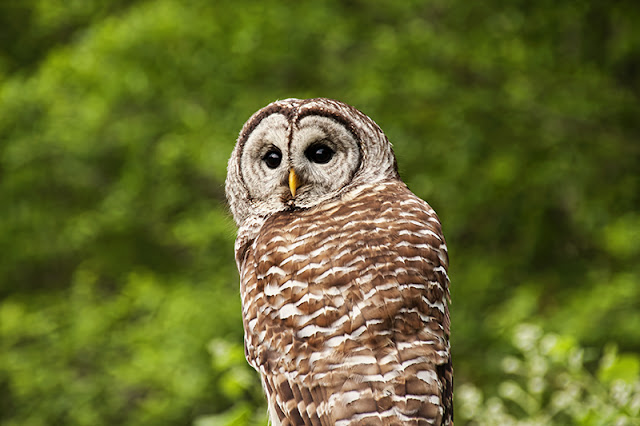 barred owl, raptors
