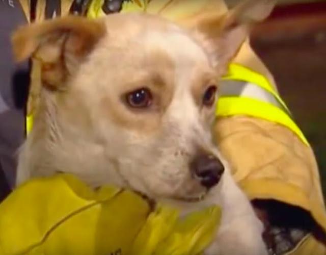 Seekor Anjing Bertahan Di Rumah Yang Terbakar, Bahkan Sampai Ia Pingsan. Saat Diselamatkan Ternyata Ada Sesuatu Dibalik Tubuhnya…Bukan Anaknya, Tapi…