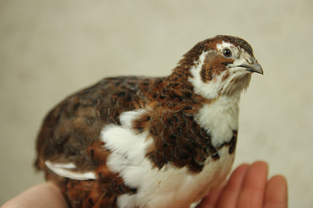 Tibetan Tuxedo Coturnix Quail - Organically raised