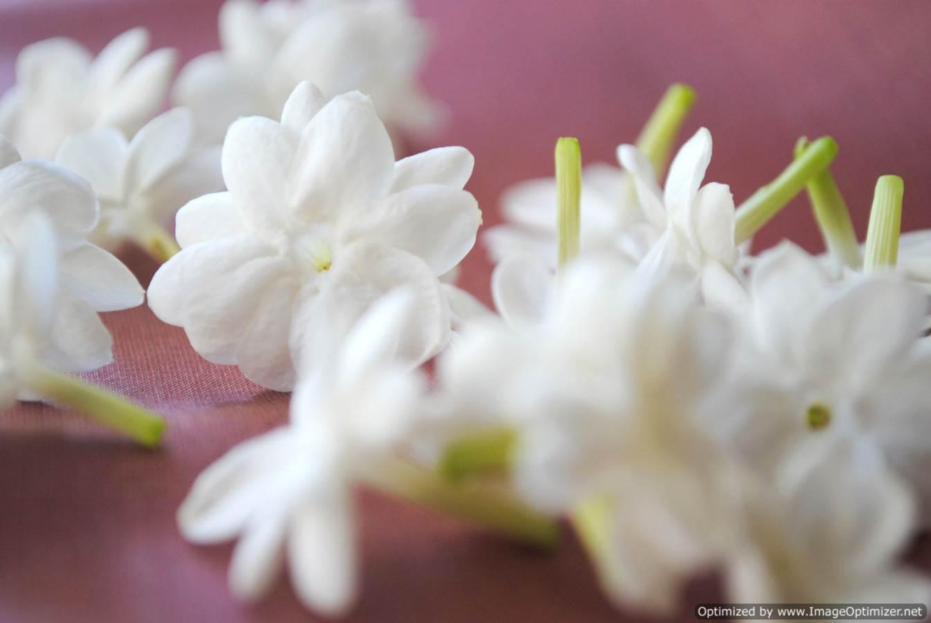 Jasmine Flower Hd Wallpapers Free Hd Wallpaper