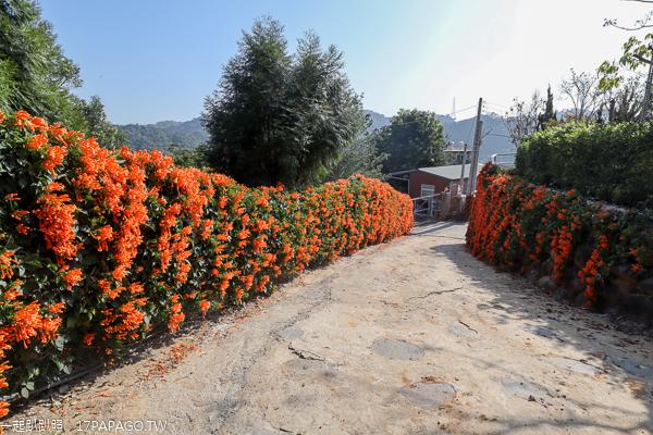 霧峰炮仗花牆綿延50公尺,免費拍美照好去處,順遊光復新村