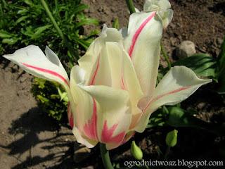 Tulipan liliokształtny 'Marilyn' (Tulipa 'Marilyn')- wygląd, uprawa i pielęgnacja