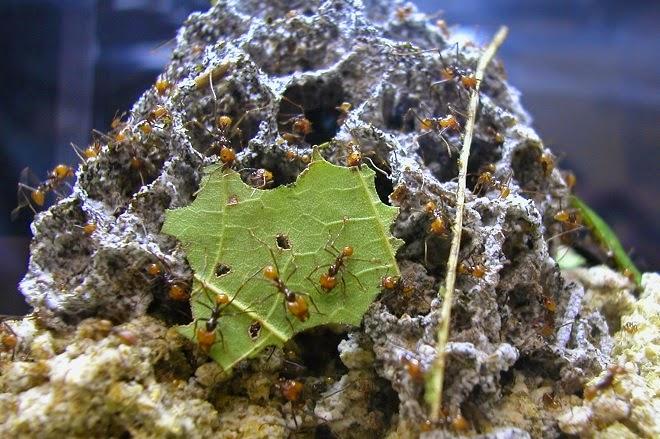 leaf cutter ant - fungus