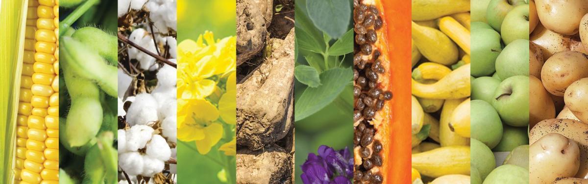 జెనెటికలీ మోడిఫైడ్ (జన్యుపరంగా మార్పు చెందిన పంటలు) పంటలు - Genetically modified crops