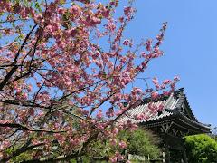 本覚寺の八重桜