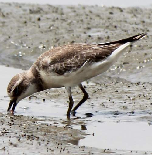 Indian birds - Image of Lesser sand-plover - Charadrius mongolus