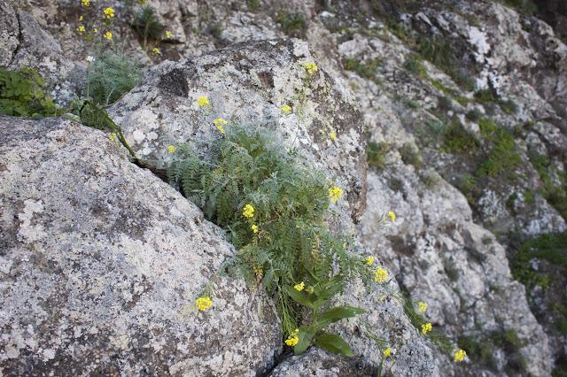 Descurainia artemisioides