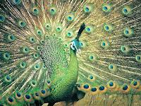 3 Jenis Burung Merak Cantik Dunia