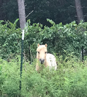 Miniature horses actually do a better job of eating weeds that goats without destroying pastures like sheep! #miniaturehorse #farmhorse