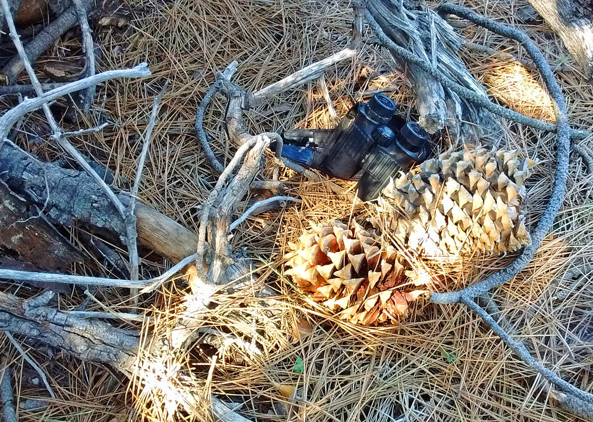 Coulter pine cones on Palomar Mountain