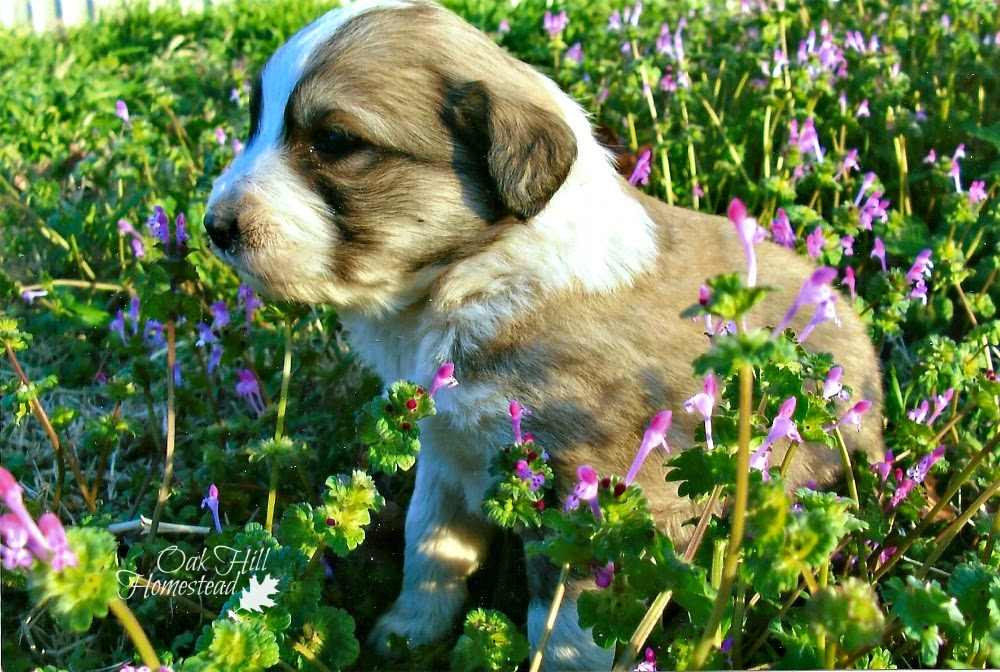 Pyrenees puppy in purple henbit