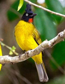 Suara Kutilang Emas : suara, kutilang, Suara, Burung, Kutilang