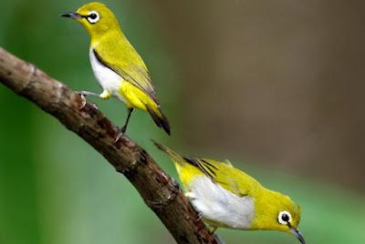 Daftar Harga Pakan Burung Pleci Paling Lengkap Dan Terbaru