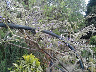 Arch covered in wisteria flowers ready to open