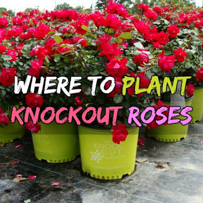 knockout rose