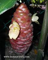 Zingiber zerumbet subsp. zerumbet