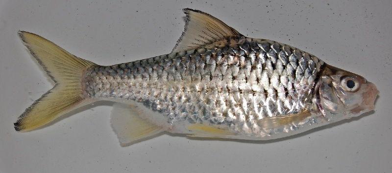 Gambar Ikan Genggehek