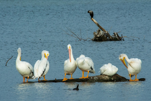 Pelicans at White Rock Lake