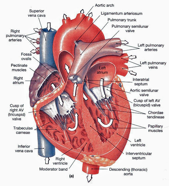 Cardiovescular System Related Multiple Choice Questions and