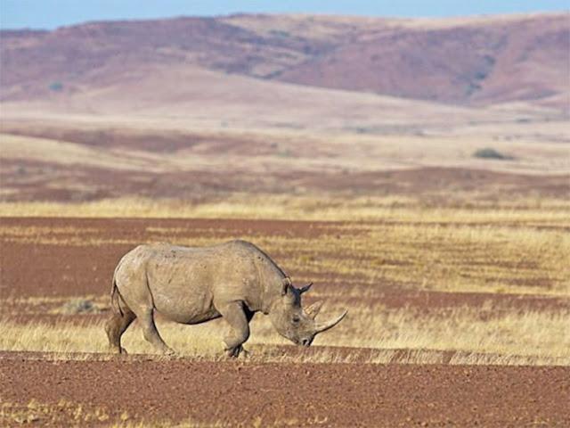 Rinoceronte embiste y hiere a cazador furtivo en Namibia