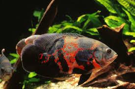 Dunia Ikan Hias - Oscar