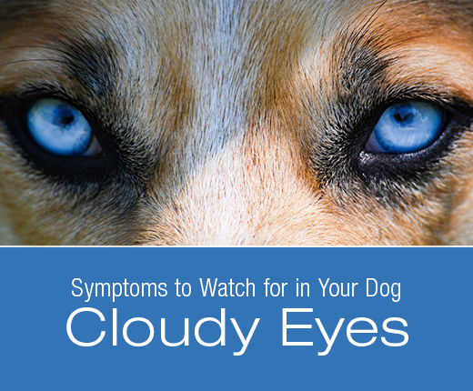 Symptoms to Watch for in Your Dog: Cloudy Eyes