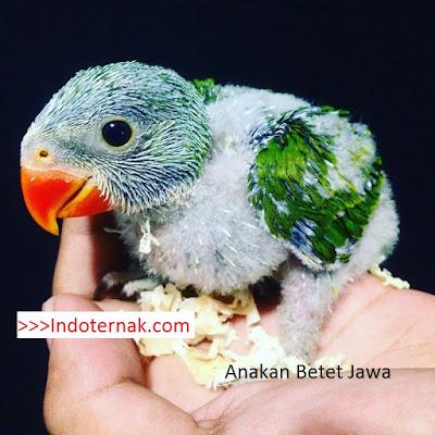 anakan burung betet