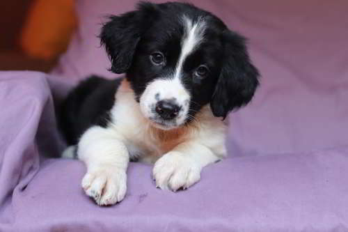 cachorra border collie