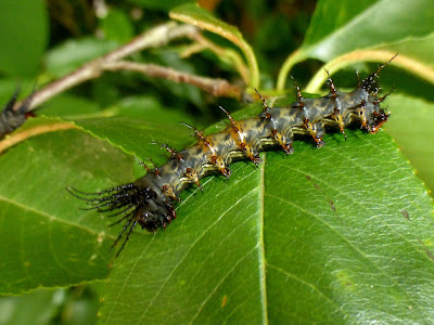 Citheronia laocoon caterpillar